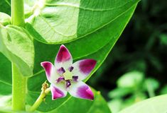 Calotropis flower smile Stock Photo