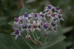 花背景,Calotropis gigantea在庭院里 库存照片