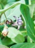 Calotropis Gigantea Стоковая Фотография RF