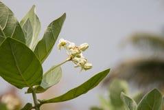 Calotropis Gigantea 免版税库存照片