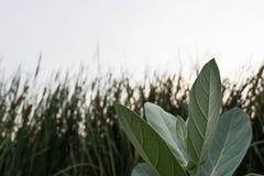 Calotropis Gigantea 免版税库存图片