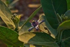 Calotropis Gigantea, Akanda, Bloem royalty-vrije stock fotografie