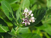 Calotropis gigantea or Crown flower Royalty Free Stock Photos
