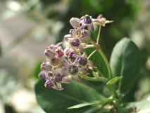 Calotropis gigantea or Crown flower Royalty Free Stock Photography