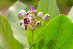 Calotropis gigantea flower Stock Image