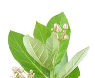 Calotropis gigantea isolated on white Royalty Free Stock Photos