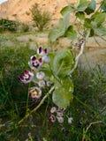 Calotropis procera - fiori selvaggi del deserto della montagna negli Emirati Arabi Uniti fotografie stock