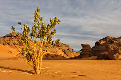 Calotropis Procera - montagne di Akakus, Sahara Fotografie Stock