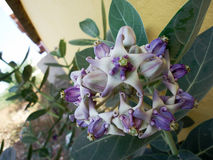 Calotropis procera. Widespread in Indian subcontinent having excellent medicinal properties Royalty Free Stock Photo