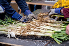 Calsot onion cooked on open fire,typical Spanish food Royalty Free Stock Image