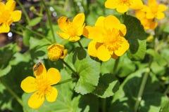 Caltha, flor amarilla con la abeja, cierre encima de la foto Foto de archivo libre de regalías