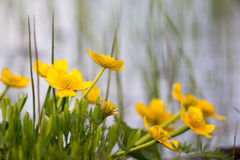 Caltha higrofilna roślina z kolorów żółtych kwiatami kwitnie przy wiosen kałużami Obrazy Stock