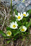 Caltha leptosepala (White Marsh Marigold, Twinflowered Marsh Mar Royalty Free Stock Images