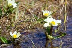Caltha leptosepala (White Marsh Marigold, Twinflowered Marsh Mar Stock Photos