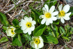 Caltha leptosepala (White Marsh Marigold, Twinflowered Marsh Mar. Igold, or Broadleaved Marsh Marigold).Top view Royalty Free Stock Images