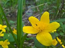 Caltha Palustris, έλος-marigold, kingcup και σκουλήκι Στοκ Εικόνες