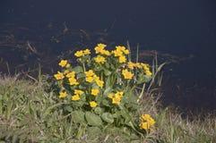 Caltha palustris Zdjęcie Stock