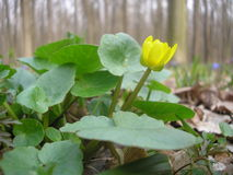 Caltha palustris Royalty Free Stock Images