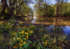 Caltha palustris blossoms on a river Stock Photography