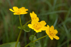 Caltha palustris close up Stock Photo