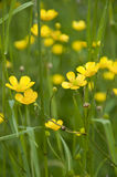 Caltha palustris Stock Images