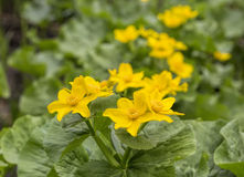 Caltha palustris, first spring flower Adonis vernalis Royalty Free Stock Photos