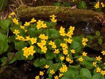 Free Caltha Palustris In Floodplain Forest Stock Image - 145592111