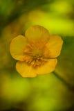 Caltha palustris Stock Photography