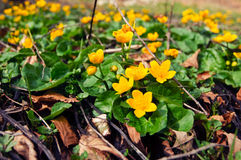 Caltha palustris- marsh marigold Stock Photos