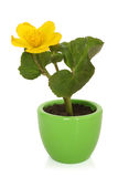 Caltha palustris in pot Stock Photo