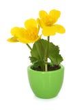 Caltha palustris in pot Stock Photo