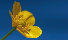 Calthapalustris Fotografering för Bildbyråer