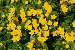 Calthapalustris Royaltyfri Fotografi