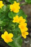 Calthapalustris Royaltyfria Bilder
