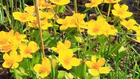 Calthapalustris die in moeras groeien enkel Geregend De bloemen van de moerasgoudsbloem stock videobeelden