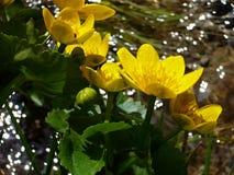 Calthapalustrissumpfanlage mit den gelben Blumenblättern Frühling blüht hell lizenzfreies stockfoto