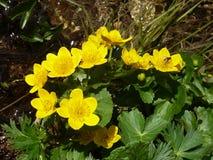 Calthapalustrissumpfanlage mit den gelben Blumenblättern Frühling blüht hell stockfotografie