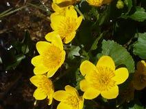 Calthapalustrissumpfanlage mit den gelben Blumenblättern Frühling blüht hell lizenzfreies stockbild