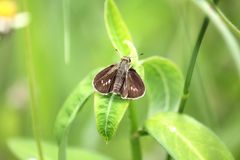 The Caltoris cahira austeni butterfly. Take a photo Thung Salaeng Luang National Park, Phetchabun royalty free stock photo