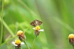 The Caltoris cahira austeni butterfly. Take a photo Thung Salaeng Luang National Park, Phetchabun royalty free stock photos
