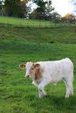 Calv on pasture Royalty Free Stock Photo