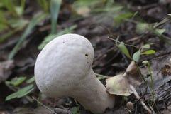 Calvatia excipuliformis蘑菇 库存图片