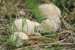 Calvatia fungoso en el campo Imagenes de archivo