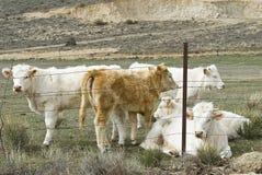 Calves. Royalty Free Stock Photos