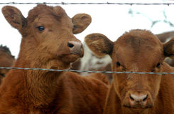 Calves. Two red beef calves, angus or shorthorn, looking through barbwire fence, overcast winter sky in background Stock Photo