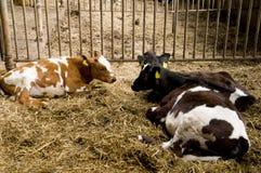 Calves Royalty Free Stock Photos