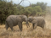 Calves of African Elephant Royalty Free Stock Photo
