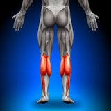 Calves - Anatomy Muscles Royalty Free Stock Images