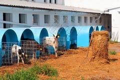 Calves breeding Stock Images