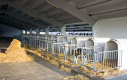 Calves cages Stock Images